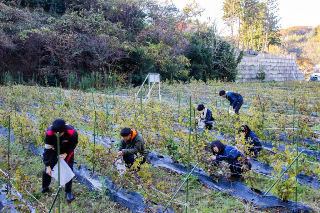 コットンを収穫する高校生たち